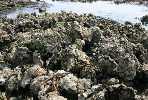 Oyster drill threatens Dutch oyster sector