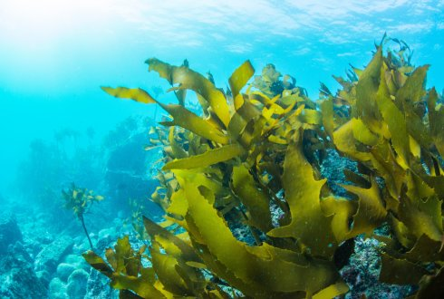 Seaweed: a promising raw material for the circular economy