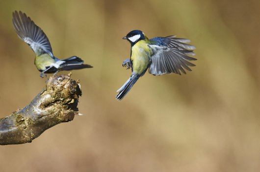 Dawn song of the male great tit attracts other males rather than females