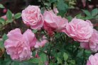 Next Generation Sequencing reveals reference genome sequence for the rose