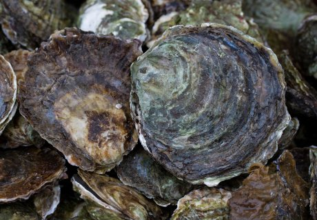 Oysters return to the North Sea