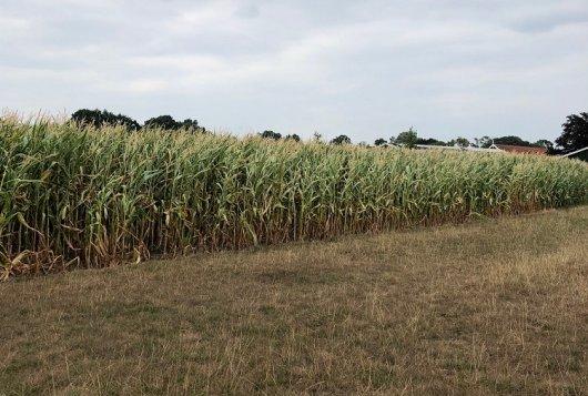 Jong gras beter bestand tegen droogte in 2018