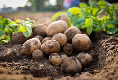 The Identification of Allelic Variation in Potato