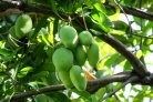 Improved mango and avocado chain helps small farmers in Haiti