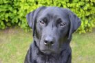 Male dogs often neutered without advice from behavioural experts