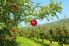 Apple genome sequence helpful to breeding of new apple varieties published