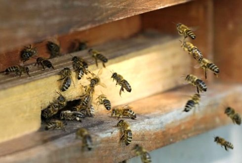 Low mortality of Dutch honeybee colonies this winter