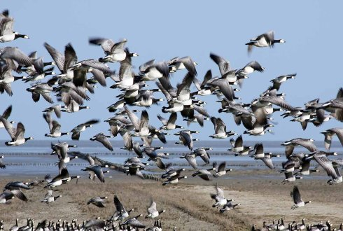 Land use changes in Russia and their impact on migrating geese