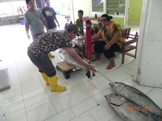 Weighing and measuring large yellowfin tuna in the transit area. The average number of large fish for the export market unloaded from a boat trip (approximately 10 days) was 25-30 fish (average of 30kg).