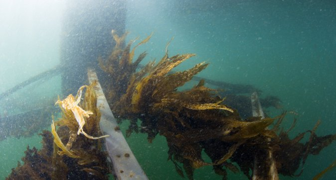 Seaweed as sustainable food for people and animals
