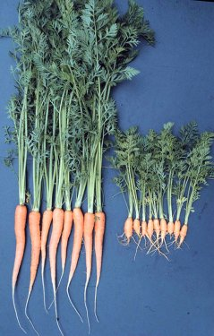 Damage to carrots