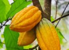 Geographic and botanical characteristics of cocoa bean demonstrable in end product