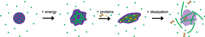 Figure 1. Schematic of actin network formation within MO, followed by deformation and disintegration of the entire structure.
