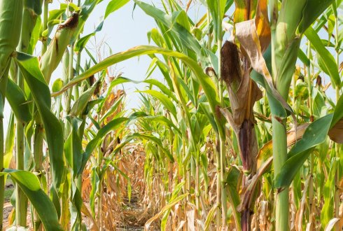 Econometric Analysis of Improved Maize Varieties and Sustainable Agricultural Practices (SAPs) in Eastern Zambia
