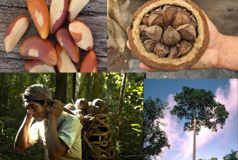 Brazil nut production and timber in Peru