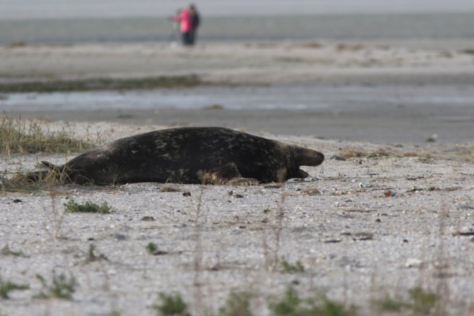 Every year, researchers of Wageningen Marine Research visit seal colonies on the Wadden Sea islets Griend and Richel. The new-born pups and adults are counted and photographed from a safe distance. That way, we can find out if female seals have their pups in the same spot each year.