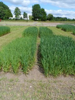 Differences in legacy of different mixtures of winter cover crops and their effects on oat productivity.