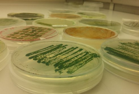 Tailored microalgae as a sustainable oil crop production platform