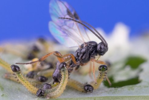 The parasitoid Cotesia glomerata lays her eggs inside a caterpillar, and learns to remember the odours from the plant on which the caterpillars were found