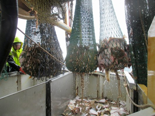 Researchers of Wageningen University & Research develop innovative fishing nets based on better understanding of fish behaviour. This will increase selectivity and thus reduce bycatches. Photo: Pieke Molenaar