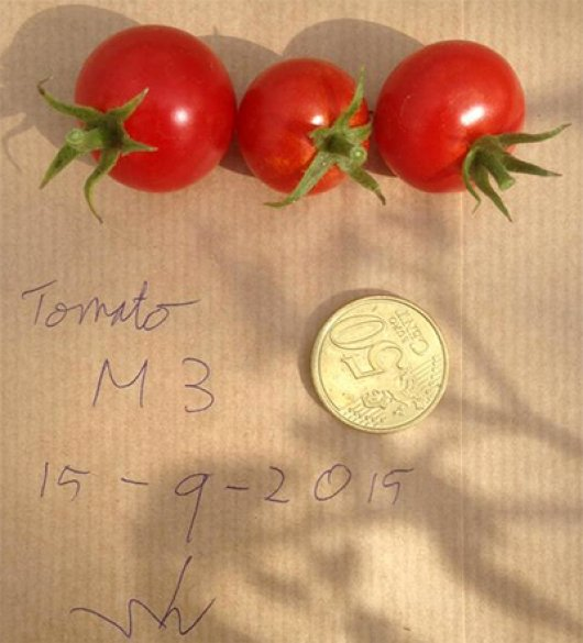 "Wieger Wamelink: ""First three ripe tomatoes harvested on mars soil simulant"""