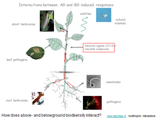 Fig. 1.  Example of connected below  and above ground  multitrophic interactions Drawing: N.M. van Dam,  photo's insects: J.A. Harvey,  photo fungiphorous bacterium:  W. De Boer.