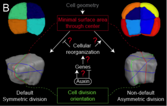 modified from Yoshida et al., Dev. Cell (2014)