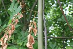 Acute symptomen in jonge boom: verdord blad en afstervende twijg