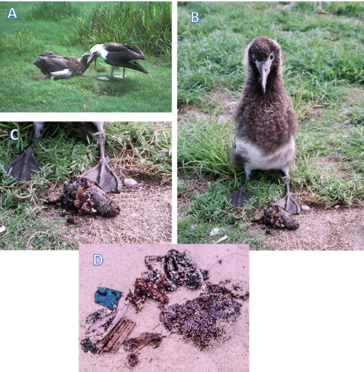 A) Laysan Albatross feeds chick on Midway Atoll, B) almost full grown chick with a recently regurgitated ball ('pellet') of stomach contents, C) close up of the regurgitated pellet, and D) a pellet taken apart showing the mix of plastic rubbish and fish eggs.