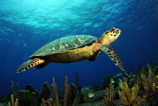 Green turtle in the Dutch Caribbean. Photo: Dr. L. Becking.