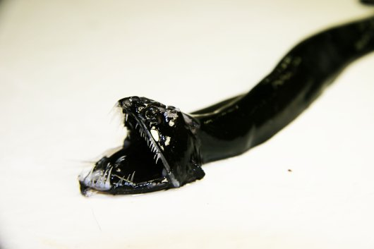 Scaleless black dragonfish (Melanostomias bartonbeani)