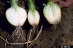 Different stages of Fusarium Basal Rot (FBR) in onion. The Fusarium oxysporum f.sp. cepae fungus, or Foc in short, enters through the disc from where the roots sprout. This Fusarium fungus, like other so called soil borne diseases (diseases carried by the soil) stays behind in the soil after harvest and will survive for some time until lack of hosts or host materials causes it to starve and disappear (Picture by Howard F. Schwartz, Colorado State University, Bugwood.org).
