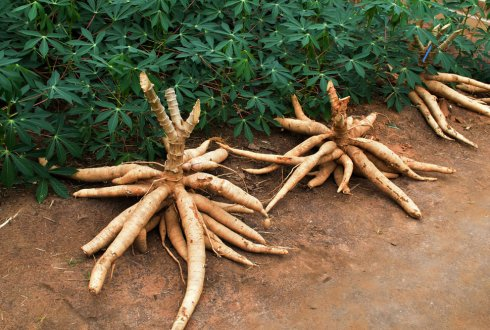 Understanding the productivity of cassava in West Africa