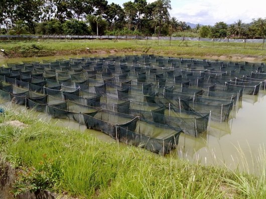 The pond where experiment was performed and data for the research collected. Photo: Hooi Ling Khaw, WorldFish