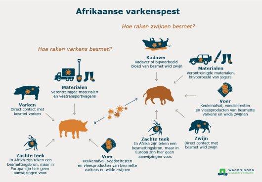 Hoe varkens en wilde zwijnen besmet kunnen raken met Afrikaanse varkenspest (AVP)