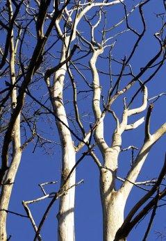 Elm disease