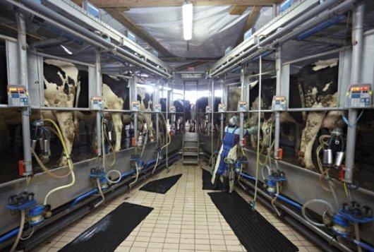 koeien in melkstal