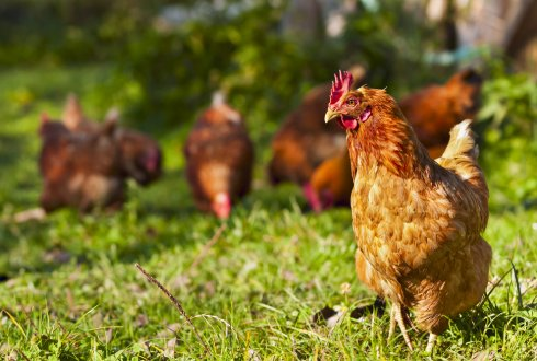 Genomic selection in egg-laying chickens