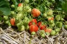 Europe uses Dutch calculation model for risk assessment of pesticides in food