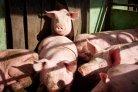 Hittestress bij varkens voorkomen met hitteprotocol