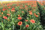 Cultivation of gerberas in the Netherlands