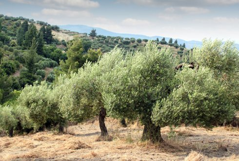 Xylella bacteria increasingly affecting olive trees  in Southern Europe