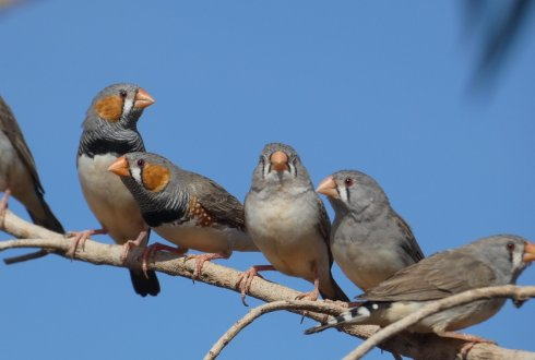 Zebra finches tweet when it's hot, but not to warn their offspring
