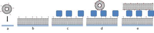 Figure 2. Schematic illustration of the formation of supported double bilayers: a and b) formation of the proximal layer by adsorption of vesicles containing biotinylated lipids (biotin on a flexible spacer). The formation of the second bilayer: c) streptavidin, a 52.8 kDa protein, has four binding sites for biotin and a sufficient number is added so that approximately half the binding sites remain free. d) Subsequently, new biotinylated vesicles are added, which will bind to the streptavidin layer. e) After rupture of the vesicles the double bilayer configuration is formed.