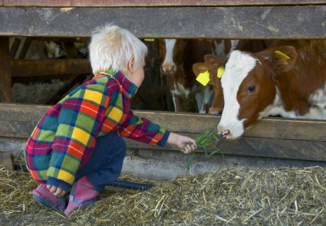Respiratory infections in children (RSV) and calves (BRSV)