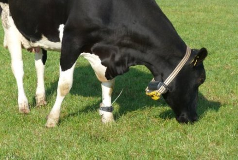 Virtual fencing: grazing without visible borders