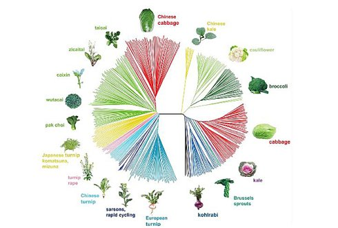 Extreme morphological diversity in Brassica's