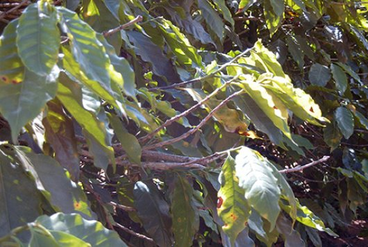 Symptoms xylella fastidiosa