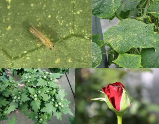 Figure 1. Adult western flower thrips (top left ), damage on cucumber (top right) and chrysanthemum leaves (bottom left) and damage on the rose flower (bottom right).