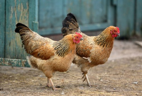 Selective breeding on natural antibodies in chickens